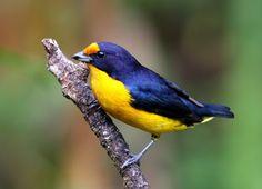 gaturamo verdadeiro_euphonia violacea Brazilian Birds