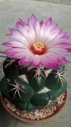 Cactus in bloom! Rare Flowers, Exotic Flowers, Amazing Flowers, Beautiful Flowers, Cacti And Succulents, Planting Succulents, Planting Flowers, Cactus Planta, Cactus Y Suculentas