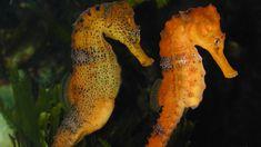 De l'Antiquité à nos jours,l'hippocampe a nourri l'imaginaire et le rêve de nombreuses civilisations. Ce sublime poisson que l'on surnomme «cheval de mer»passionnetant par sa physionomie que ses incroyables couleurs. ...