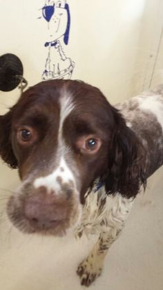 Fudge #springer #spaniel #doggrooming #poshpooch #tipton