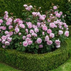 Roses framed by well defined hedge.