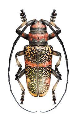 Ceroplesis revile pauli – CERAMBYCIDAE subf. Lamiinae