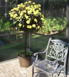 Fragrant Yellow Roses on a Dwarf Tree   - Now that the Sunny Knock Out Rose Tree has made its debut, the world of landscape roses will never be the same.  Anyone who has tried to grow a yellow rose in cooler climates knows this can be quite the challenge, but this rose tree will revolutionize the idea of the perfect garden rose. This...