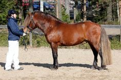 Tintin Muskotti (© P. Fager-Pintilä) was accepted to Finnhorse studbook at 21.3.2015. It's a pony-type Finnhorse stallion, height at withers is 139 cm and colour is silver bay.