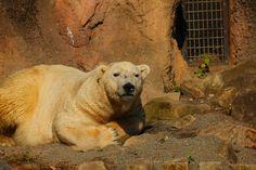 polarbear in zoorasia (yokohama japan)