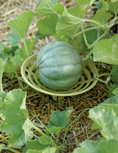 Melon and Squash Cradles, Set of 6 - this would be easy to make; maybe out of a mik jug or something