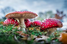 One of many great free stock photos from Pexels. This photo is about nature, red fly agaric mushroom, toadstools Health Benefits Of Mushrooms, Mushroom Benefits, Giant Mushroom, Mushroom Fungi, Mushroom Tea, Public Domain, Free Stock Photos, Free Photos, Origin Of Christmas