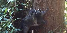 Pour apprendre à son petit grimper aux arbres, ce raton-laveur le prend dans sa gueule et le plaque contre l'écorce.