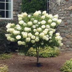 Limelight Hydrangea Tree.  This Hydrangea Tree grows up to 6-8 ft. tall & 4-5 ft wide. They bloom in early summer & have long-lasting flowers that turn to pale & blushing pink in autumn.  Carefree, durable & resistant to both pests & diseases.  Zones 3-8.  Drought tolerant once established.  Adapts to most soil types!