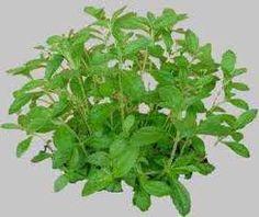 Pestovanie Stévie Cukrovej Možno ste to nevedeli, ale Stévia rastie v… Stevia, Ale, Korn, Health, Herbs, Health Care, Ale Beer, Ales, Beer