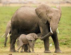 Más del 20% de elefantes Africanos podría desaparecer para el 2024 | S.M.A.C.E.