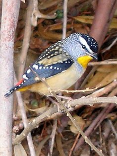 our-amazing-world:  Spotted Pardalote by Amazing World beautiful amazing
