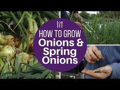 Grow onions and spring onions from seed, for large harvests of high quality - YouTube