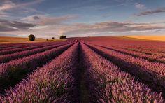 поле, англия, лаванда