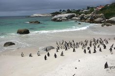 Boulders Beach #Africa #SouthAfrica #Travel  See penguins on our Africa Learn Serve Immerse Tour! Find out more here: http://globalfamilytravels.com/africa-learn-serve-immerse/ #Travel #SouthAfrica #Penguins