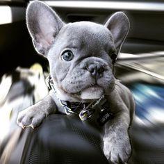 Felipe, the Blue French Bulldog Puppy