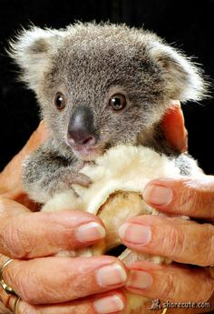 """Squeaky the Orphaned (!) Koala: """"He's a very quiet little fella, but he's doing OK, hospital supervisor Cheyne Flanagan said. He just clings to a little sheepskin roll that mimics his mummy."""" Simultaneously the cutest and saddest thing ever. Cute Funny Animals, Cute Baby Animals, Animals And Pets, Wild Animals, Baby Koala, Koala Bears, Baby Otters, The Wombats, Australian Animals"""