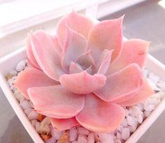 ピンキーの画像 by mamiiさん|ピンキー_mamiiと多肉植物とエケベリア属 (2015月4月26日)|みどりでつながるGreenSnap
