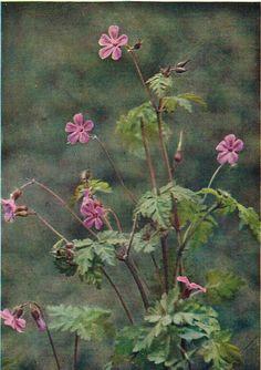 Herb Robert - Antique 1912 Botanical Wild Flower Print by H Essenhigh Corke