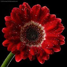 Red Gerbera by Eman333 on deviantART