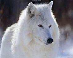 fehér farkas - Bing images