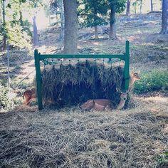 Longest deer ever   #deer #deerhunting #longestever #adayatthezoo #freaksofnature #jönköpingstadspark #funnyanimals #funny #laughing