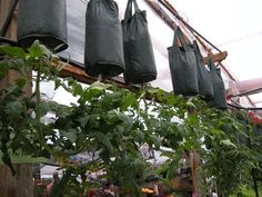 Now who WOULDN'T LOVE the wonderful space saving convienience of being able to grow Upside Down Tomatoes!! So easy! Just Pick a Tomato bag up at Beier's Greenhouse, plant a little Basil in the top if you want, hang up, water as needed, and PRESTO! Fresh Tomatoes Right off the Vine!