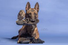 Dogs may be man's best friend, but Ingo the shepherd dog's special buddy is Poldi, a little owl who loves to pose for pictures and cozy up to his canine pa