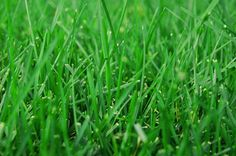 St. Augustine grass is a common choice for lawns in the southeastern coastal regions from the Carolinas to eastern Texas. With its coarse, thick blades, it forms a mat-like...