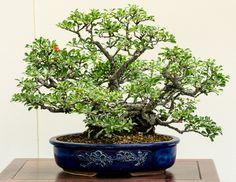 junischnee serissa foetida als bonsai baum bonsai. Black Bedroom Furniture Sets. Home Design Ideas