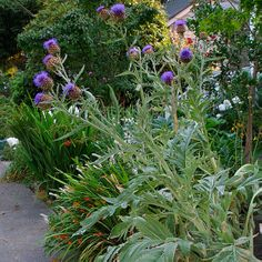 cardoon plant | previous Attempting these in my front beds this year.....