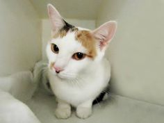 """SNOOKIE - A1084505 - - Brooklyn  **TO BE DESTROYED 08/18/16** UNBELIEVABLE THIRD CHANCE FOR SNOOKIE! SNOOKIE is a 6-year-old sweetie who was owned by people who wanted her to be killed, just to free them up to move into some dive where cats aren't welcome. That's right, check her ACC biography carefully; this girl was brought in by people who said she was """"old and sick"""" and should be killed, oh, and she also was an inconvenience to them with their up"""
