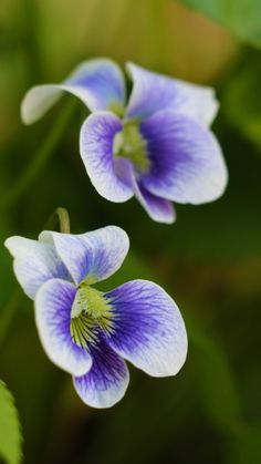 Violets--one of my favorite flowers. Reminds me of being a little girl picking them in the back yard.