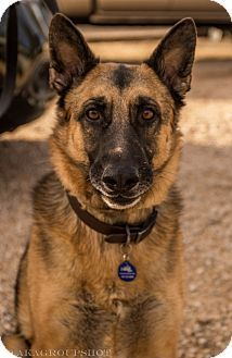 Adopt german shepherd phoenix