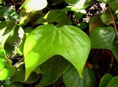 Dipteridaceae: Cheiropleuria bicuspis.