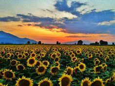 Sun slowly going down behind sunflowers fields, Filippoi Kavalas ~ Macedonia