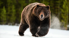 The Lost Bears of the North Cascades