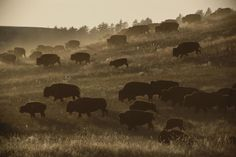 Where the Buffalo roam. Desert Diorama, Wild West, Wilderness, National Parks, Wildlife, Elephant, Animals, Elle, Park Service