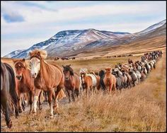 Horse gathering in Iceland.