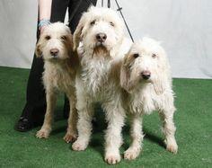 Briquet Griffon Vendéen Dogs