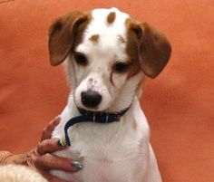 Jujube is an adoptable Jack Russell Terrier Dog in Arlington, TX. Jujube is probably part Rat Terrior or Jack Russell Terrier and Cavalier King Charles.� She is very intelligent and active.� She learn...