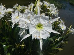 The rare Cahaba Lily in bloom in the Cahaba River Shoals in central Alabama