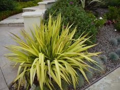 Plant photo of: Phormium 'Yellow Wave'