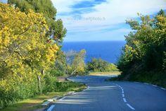 Chaque année entre Janvier et début Mars, la route du Mimosa dans le massif du Tanneron dans les Alpes-Maritimes. Superbe !
