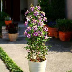 Clematis florida 'Taiga' - Clematis Plants - Thompson & Morgan