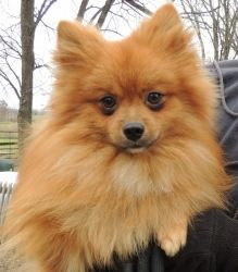 Foxie 12 lbs(Male) is an adoptable Pomeranian Dog in Joliet, IL. For the quickest response and more info or an application please contact: razndaz_2@sbcglobal.net We try very hard to get back with you...