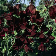 SWEET PEA 'MIDNIGHT BEAUJOLAIS' SEEDS - Plant World Seeds. This absolutely superb Sweet Pea Midnight Beaujolais has dark burgundy flowers. It is a reliable sweet pea variety, producing an abundance of highly scented flowers. Dark Flowers, Burgundy Flowers, Beautiful Flowers, Gothic Flowers, Winter Plants, Winter Garden, Wicken, Sweet Pea Flowers, Midnight Garden
