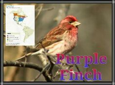 Purple Finch  Habitat Forest In summer, Purple Finches are primarily birds of moist, cool evergreen forests. You'll also find them in mixed forests, along wooded streams, and in tree-lined suburbs. In winter they're more widespread, using forests, shrubby areas, weedy fields, hedgerows, and backyards.Back to Top Food Seeds Purple Finches eat mainly seeds of coniferous trees and elms, tulip poplars, maples, and others. They also eat soft buds, nectar (extracted by biting the bases off…