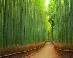 Bamboo Forest, Japan ~ Blogger Pixz