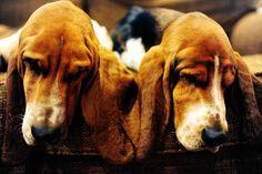 basset hounds basset hounds basset hounds